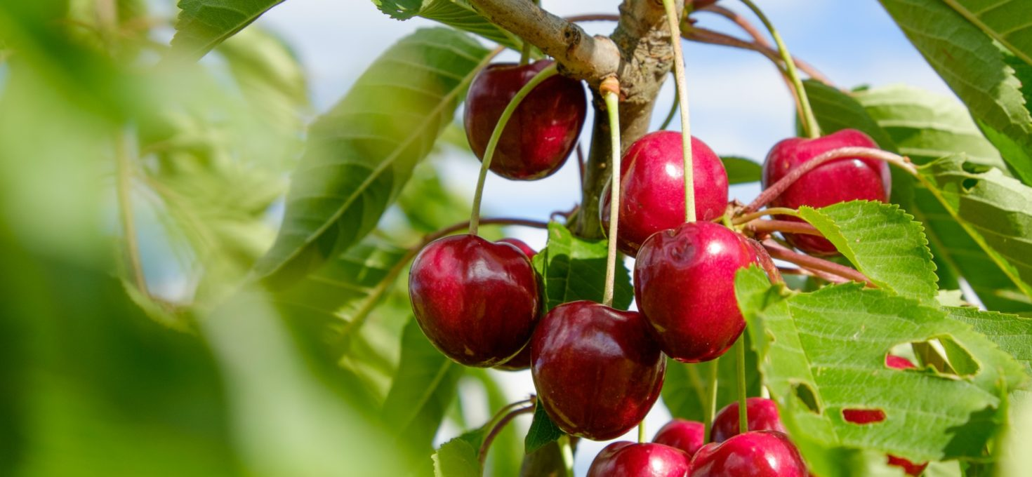 Kirschen frisch vom Baum