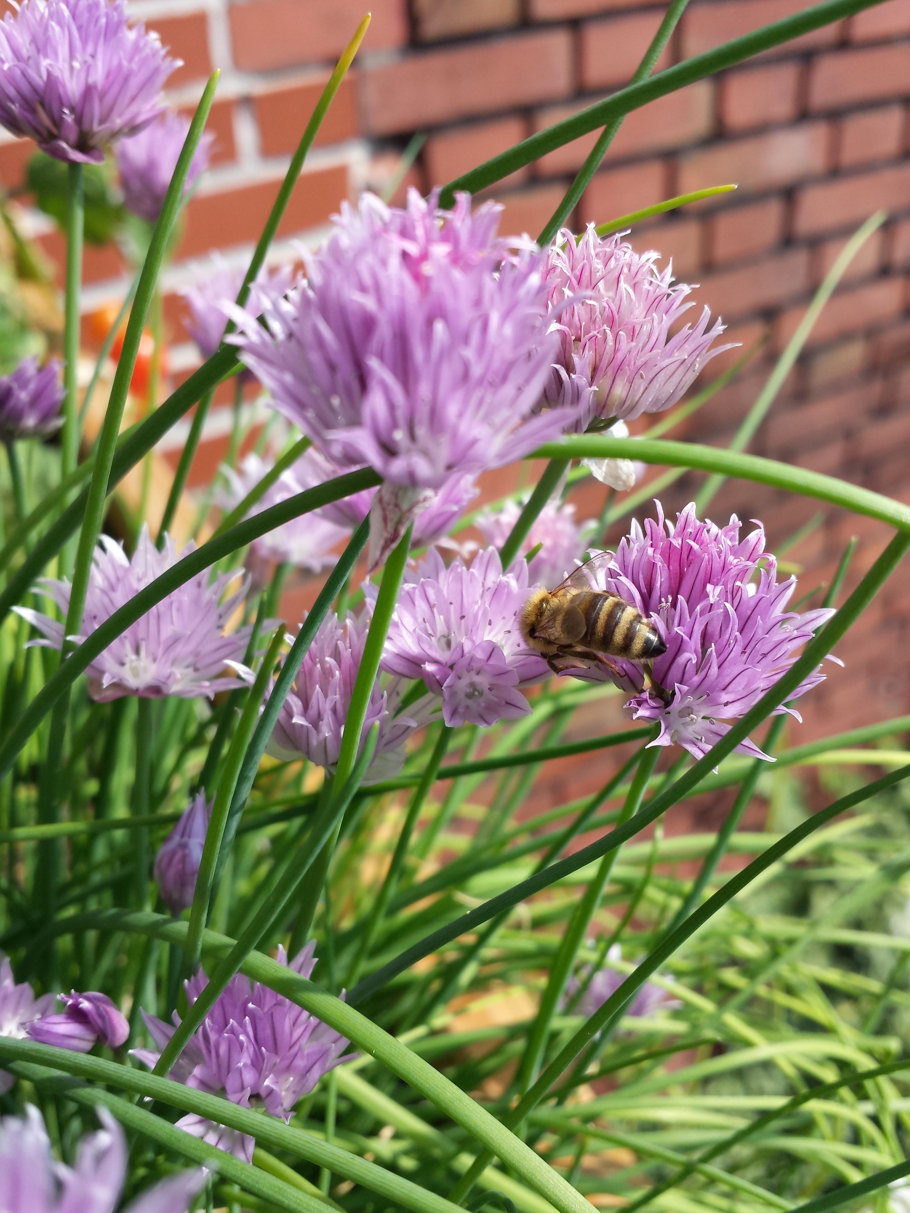 Bienen im Schnittlauch